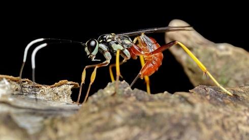Parasitando.. (Icneumonidae)