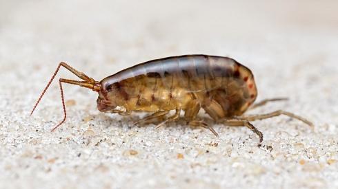 Anf�podo terrestre (Amphipoda)