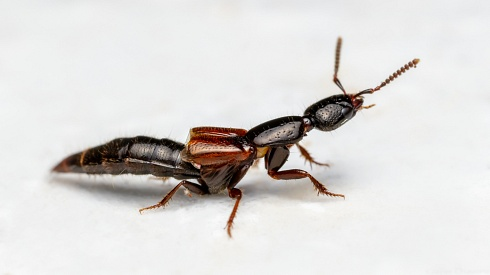 Estafil�nido (Staphylinidae)