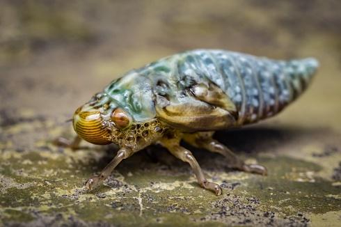 Chicharrita de la espuma � Cephisus siccifolius