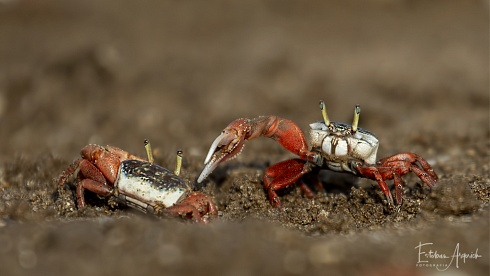 Batalla de cangrejos