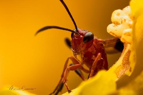 Avispita parasitoides...