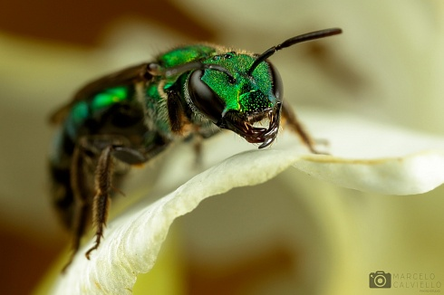 Halictidae...