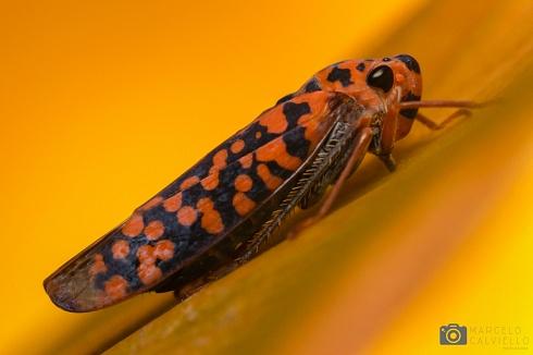 Cicadella...
