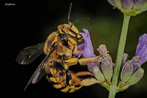 abeja....en hdr