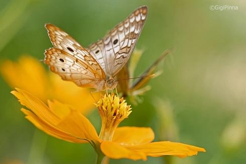 mariposa libando... (anartia jatrophae)