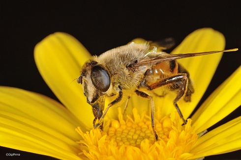 Mosca z�ngano o mosca abeja