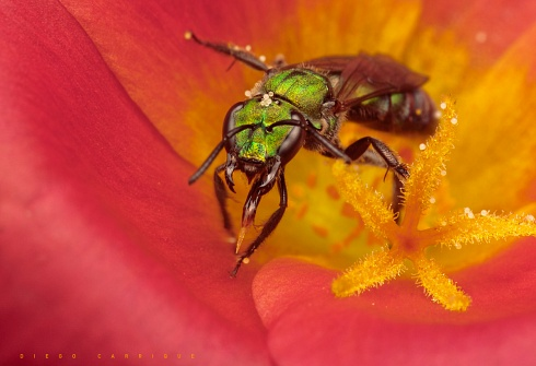 En busca de polen