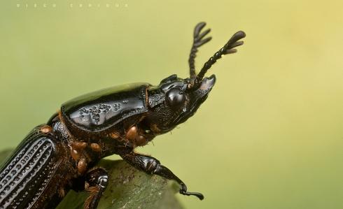 Escarabajo misionero