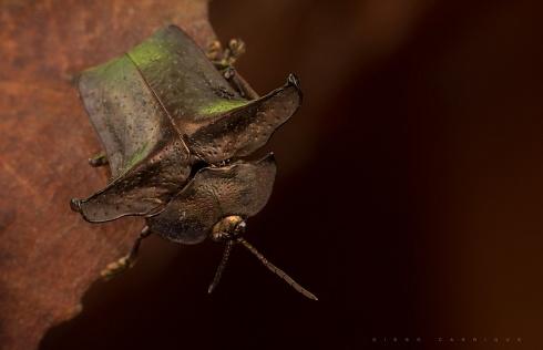 Omocerus truncatus