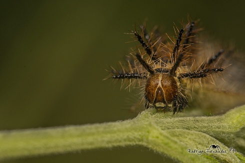 Oruga de mariposa perezosa, Actinote sp