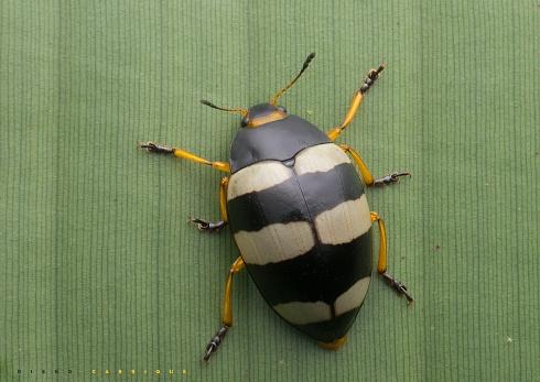 Iphiclus trifasciatus