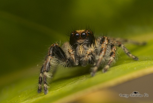 Salticidae - macho de Megafreya sutrix