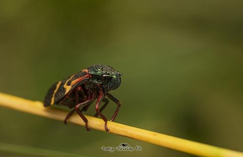 Chicharrita de fuego  Hemiptera - Deois flexuosa