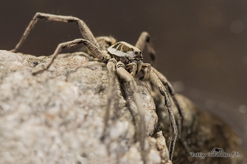Lycosidae - Araña Lobo