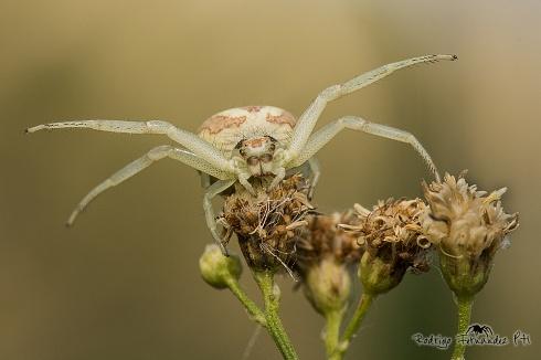 Thomisidae - araña cangrejo