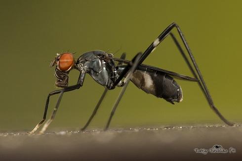 Mosca de patas largas - Micropezidae - Taeniaptera annulata
