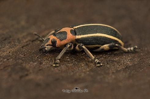 Curculionidae - Eudiagogus episcopalis