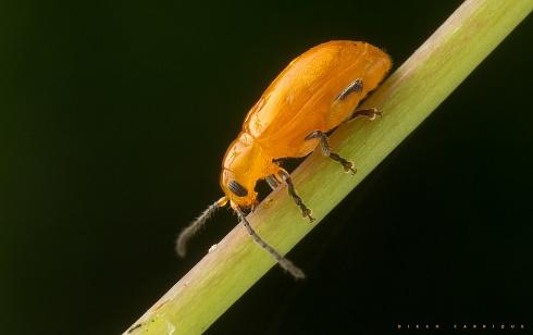 El naranjita