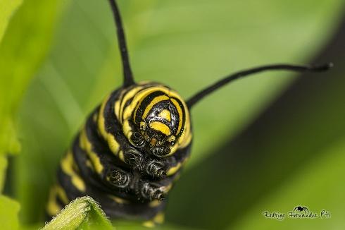 Oruga de mariposa monarca. Danaus erippus