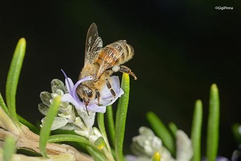 abeja y romero....