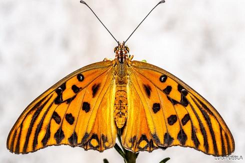 Mariposa Partenon