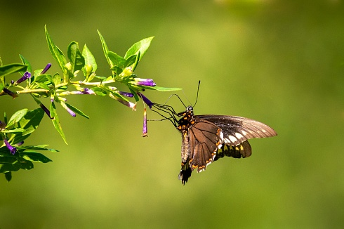 Mariposa bordes de oro (Battus polydama) en flor de talilla (Lycium cestroides)