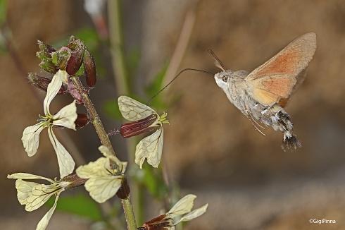 mariposa colibr�....