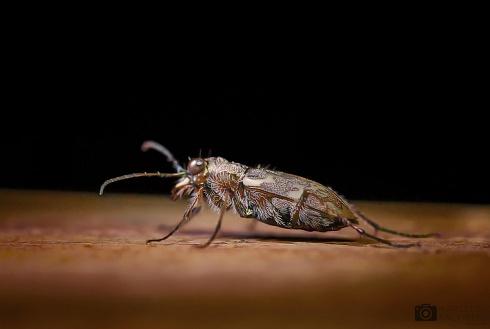 Escarabajo del Delta...