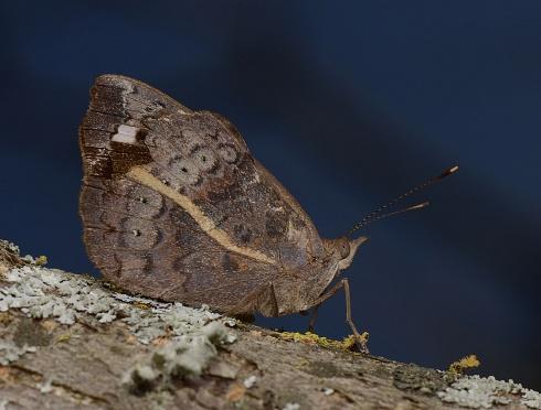 Eunica tatila bellaria (Satinada bella)