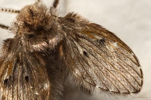 Detalle de mosca del drenaje.
