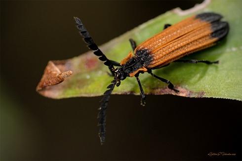 Belleza de escarabajo.
