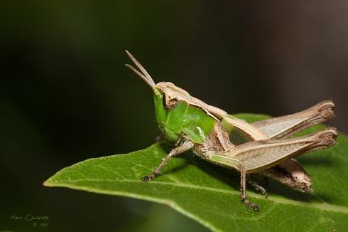 Locust in Green Symphony