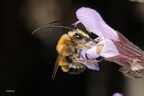 abeja y salvia