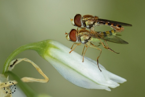 Flor de cópula