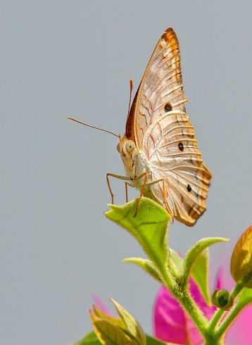 Alta mariposa