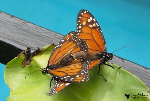 monarcas en mi jardin