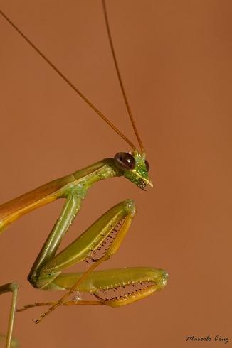 mantis  serrana