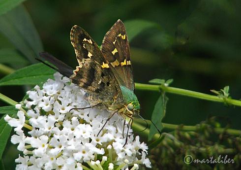 Mariposa (Rabuda Verde Comun)