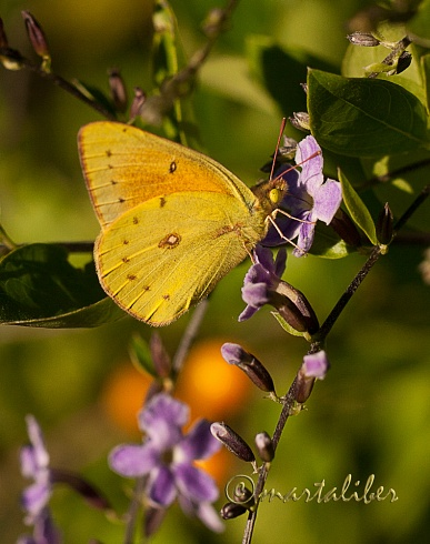 Mariposa de la alfalfa