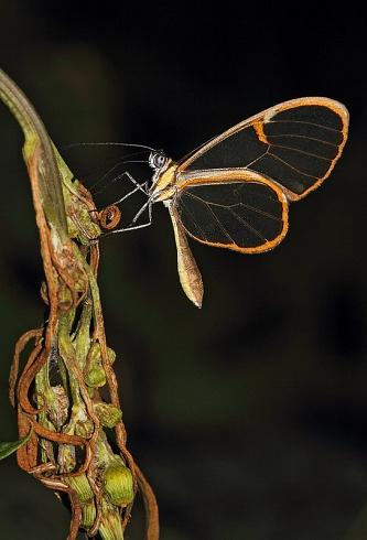 Mariposa Cristalina (Episcada hymenaea hymenaea)