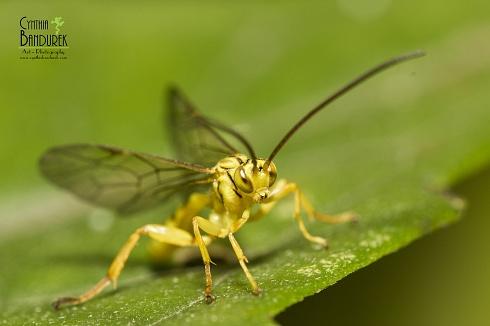 Icneumonidae