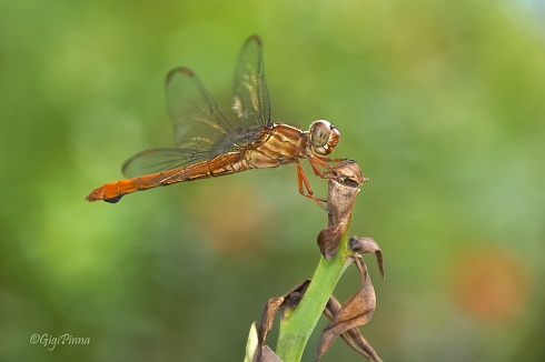 contraviento....(Orthemis discolor - female)