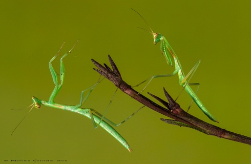 Juvenines Mantis, posando