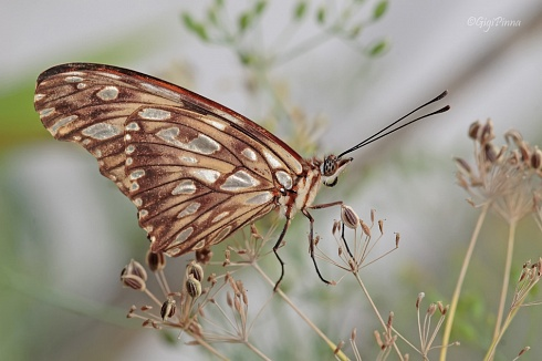 Passion butterfly - (Agrulis vanillae)