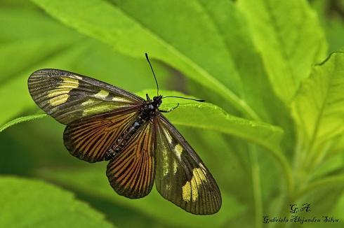 Perezosa Amarilla - Actinote Carycina
