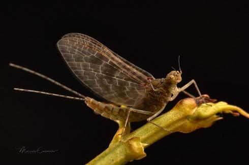 Mayfly...