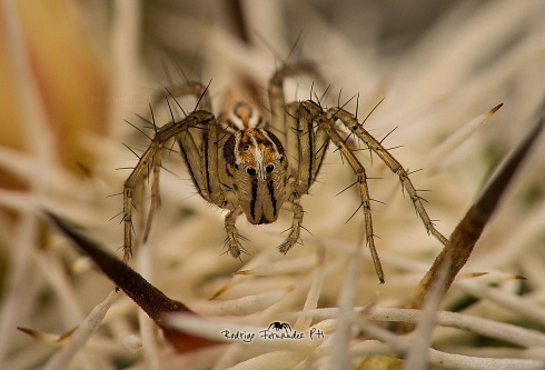 Oxyopes salticus
