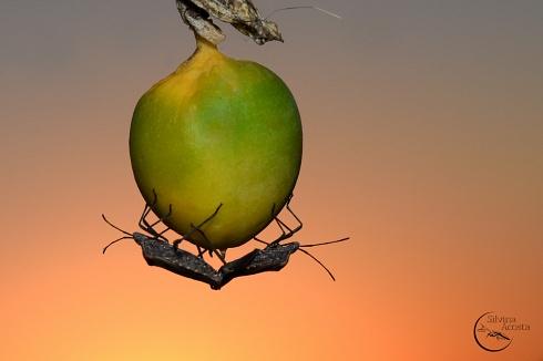 Fruto de la pasión