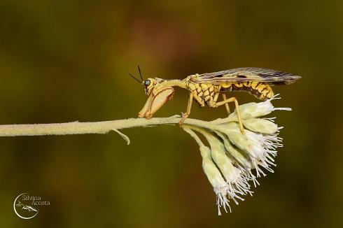 1/2 Mantis 1/2 Avispa